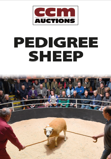 PEDIGREE CHAROLLAIS SHEEP - SATURDAY 10TH OCTOBER 2020