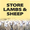STORE LAMBS - WEDNESDAY 21ST OCTOBER 2020