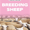 BREEDING SHEEP - TUESDAY 19TH MAY 2020